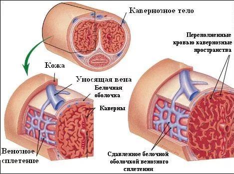 кровообращение члена